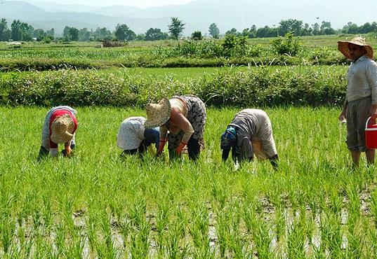 طرح وزارت جهاد برای جلوگیری از مخلوط کردن برنج خارجی با ایرانی
