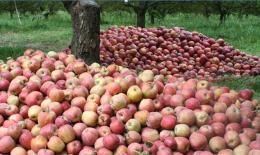 ایجاد مانع برای صادرات سیب،مشکلات باغداران را بیشتر می کند