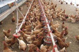 فروش مرغ زنده در بازارهای سنتی ممنوع است