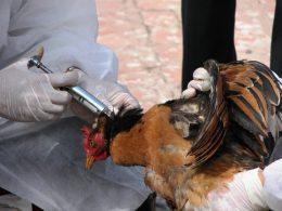شیوع آنفولانزای پرندگان در کشور در حال گسترش است