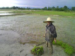 کشت فراسرزمینی برنج ایرانی در ویتنام