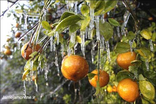 ۱۱۵ هزار تن پرتقال یخ زده مازندران امحاء شد