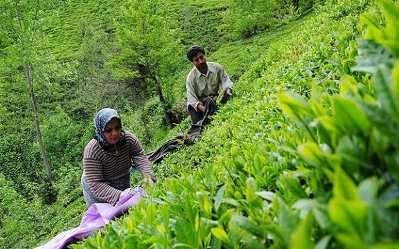 برآورد میزان خسارت باغهای چای رودسر