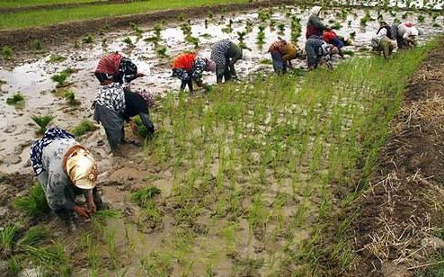 مرگ اشتغال با کاهش تعرفه برنج