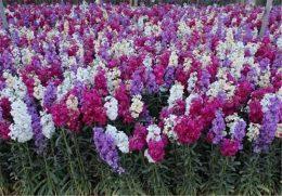 کاشت ۹۰۰۰۰هزار گل شب بو در منطقه دو