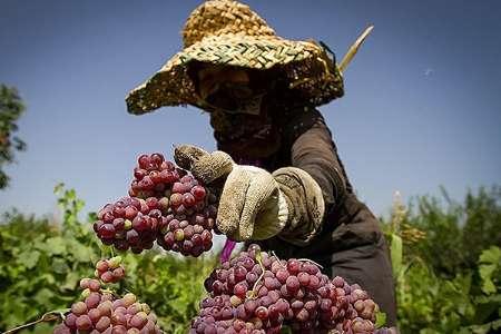 پرداخت بیش از ۹۰ درصد تسهیلات با ضمانت کشاورزان