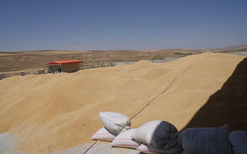 پارسال ۱۴۴ هزار تن گندم در مازندران آسیاب شد