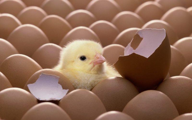 ۲۰میلیون قطعه جوجه به اتحادیه سراسری مرغداران میروند