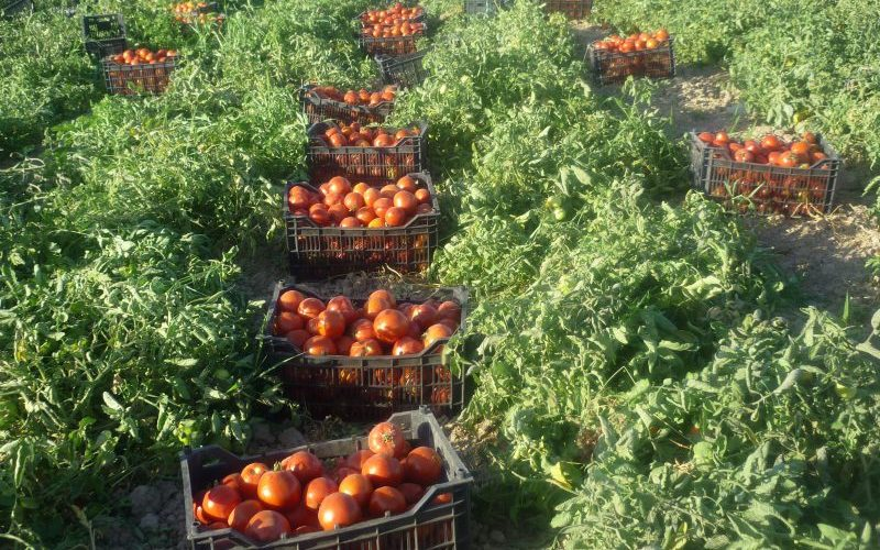 کمبود گوجه نداریم/افزایش ۲۵ درصدی تولید گوجه نسبت به پارسال