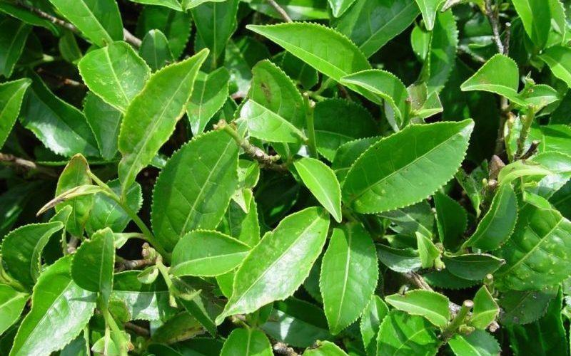 توسعه باغهای چای و شالیزار در شمال کشور