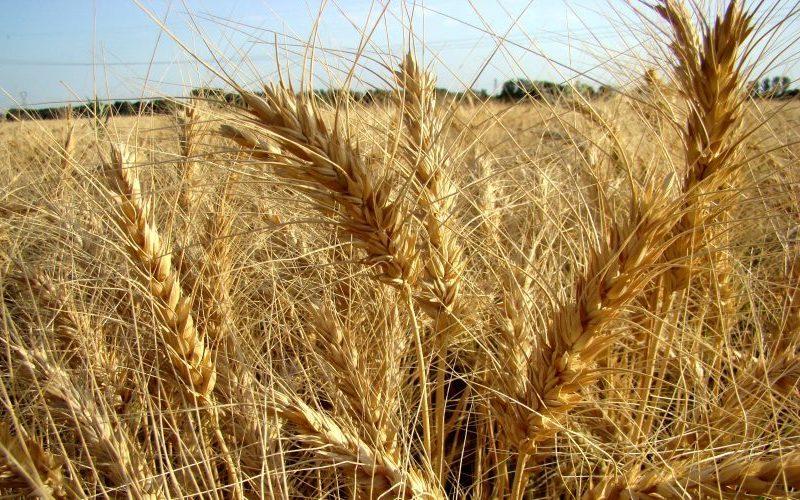 خودکفایی گندم یک ساله میشود؟