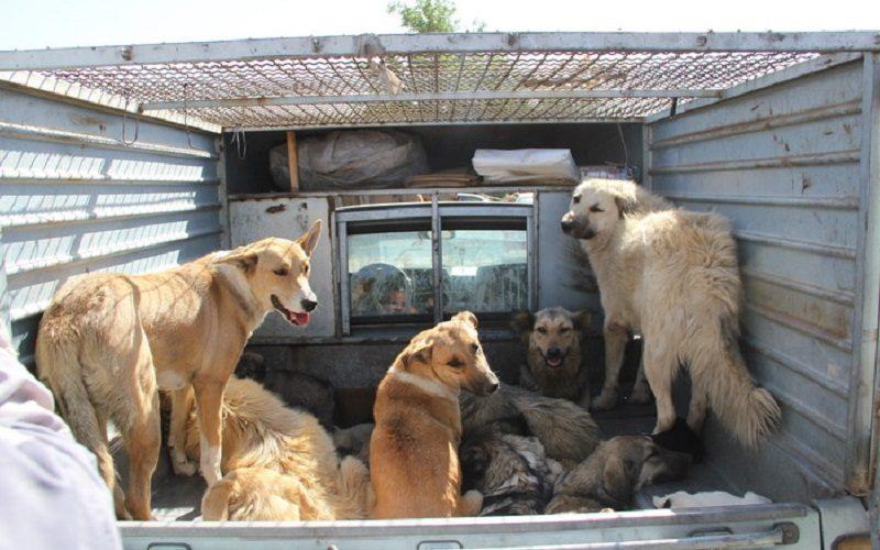 زندهگیری سگهای بلاصاحب در شمال شرق تهران