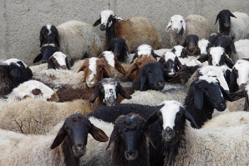 نسل گوسفند ایرانی در حال انقراض است
