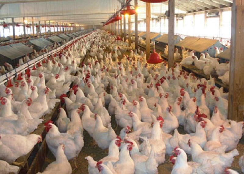 مذاکره بینالمللی برای صادرات مرغ ایران