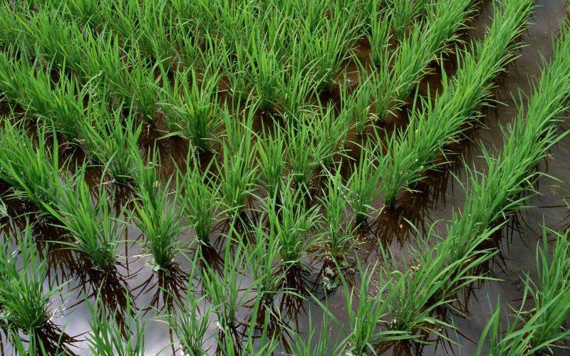 توضیحات وزارت جهاد درباره ممنوعیت طرح کشت برنج