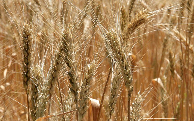 نخستین محموله گندم صادراتی ایران به مقصد عمان ارسال شد