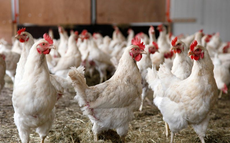 تورم تولید کننده مرغداریها ۱۰.۴ درصد شد
