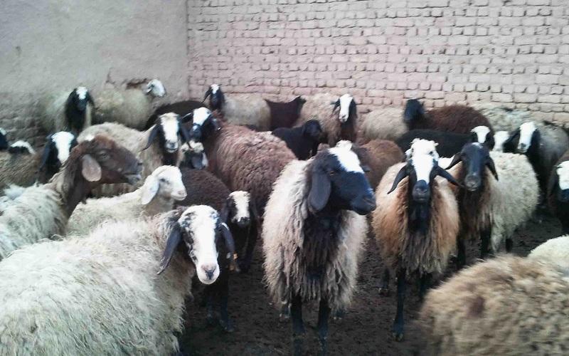 ضریب خودکفایی گوشت قرمز در ایران ۹۰ درصد است