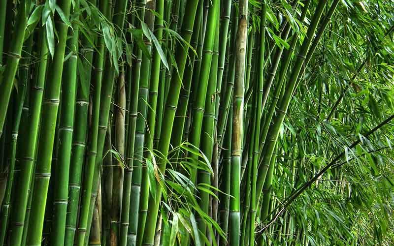 شرایط واردات بامبو از چین