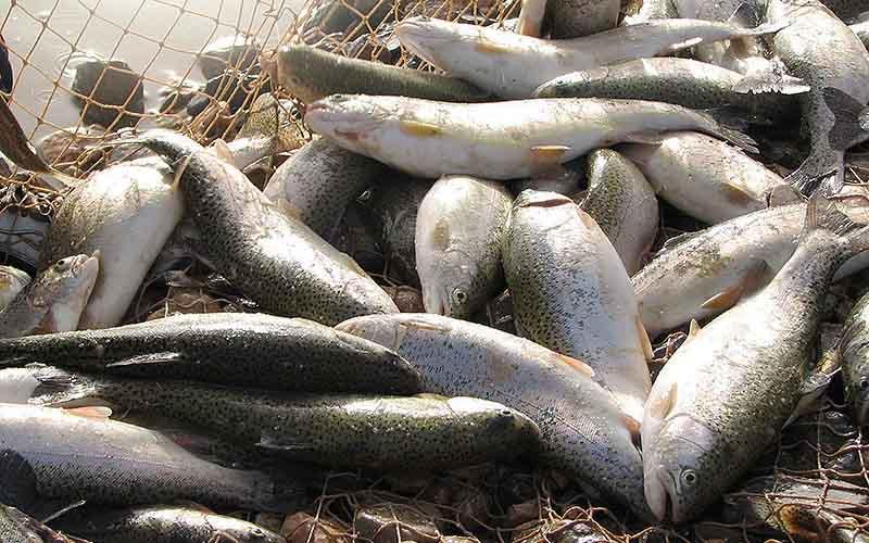 عراقیها ماهی صادراتی ایران را عودت دادند