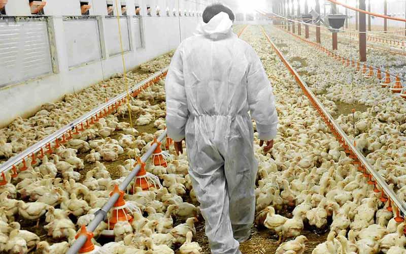 بیکاری یک میلیون کارگر مرغداریها قریبالوقوع است