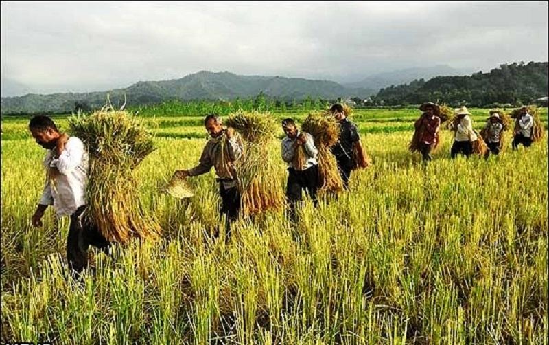 افزایش حضور مروجان جهاد کشاورزی در مزارع کشور