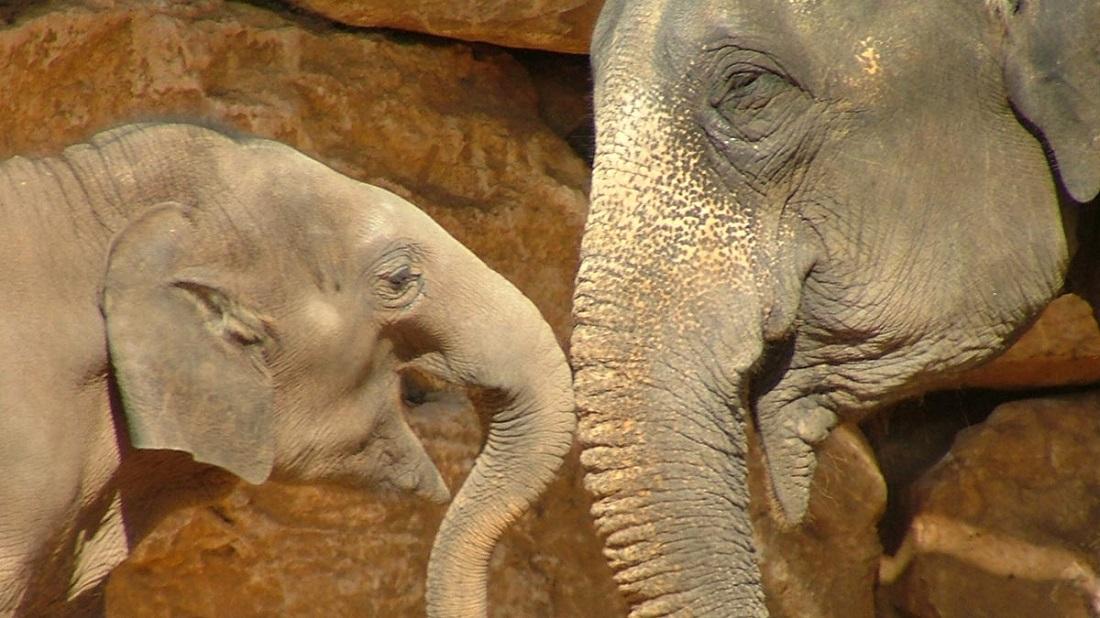 فیل مادر فرزند حمایت محبت