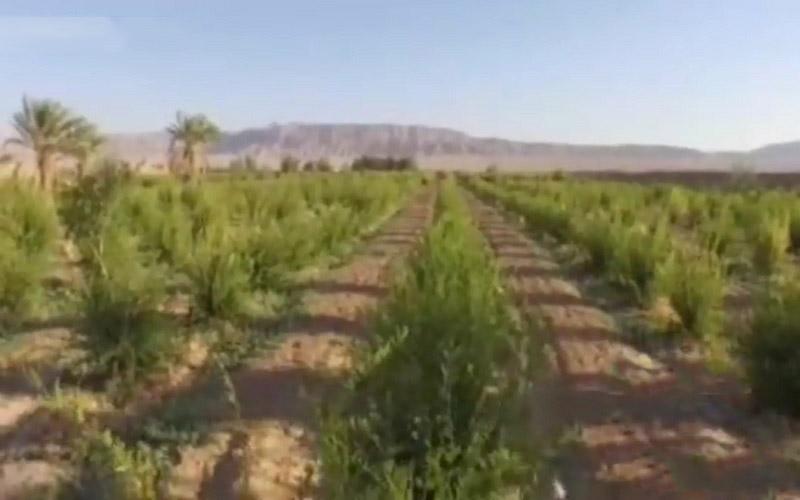 روش آبیاری نوین بیابان را سبزپوش میکند