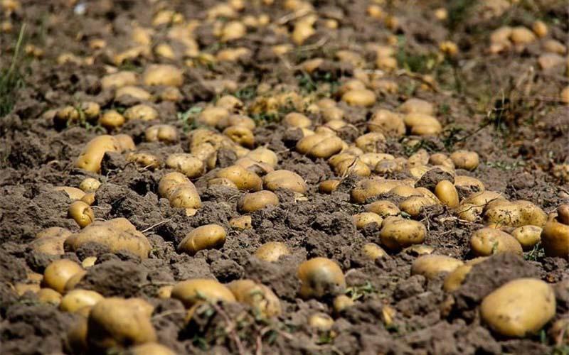 سیبزمینی که در انبارهای آذربایجان غربی از دست رفت