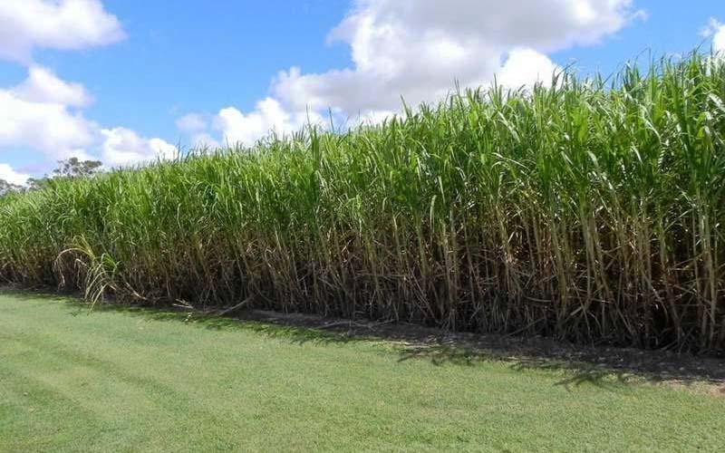 خشکسالی به دامن اراضی نیشکر زده است