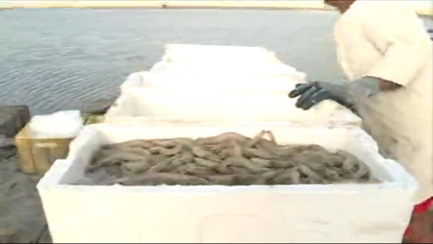 صید بیش از ۵۰ تن انواع میگو در آبهای میناب