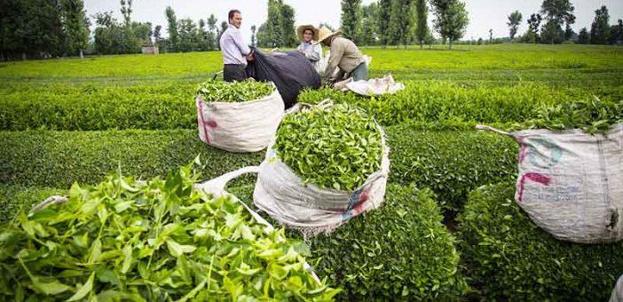 تولید چای