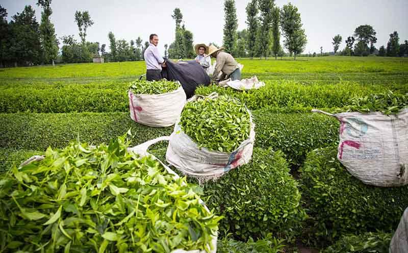 آمارهای ناهمخوان از مصرف چای در ایران