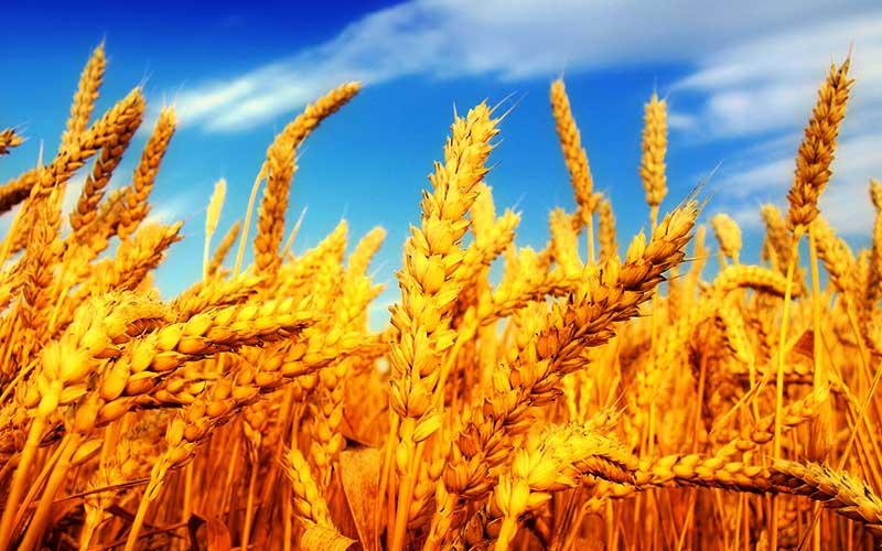 خرید گندم از ۵. ۸ میلیون تن فراتر رفت