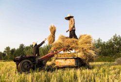 تولید برنج