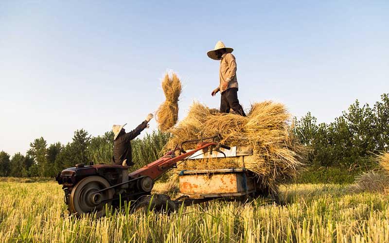 تولید برنج در سال ۱۳۹۶ رکورد شکست