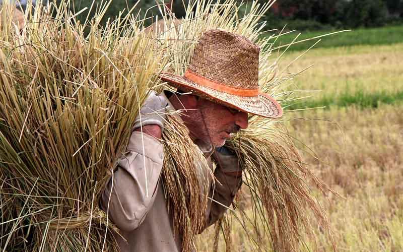 ممنوعیت واردات برنج تا آذر ماه با اعلام وضعیت مطلوب ذخایر