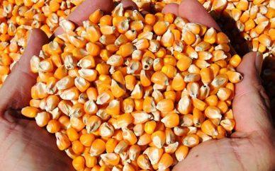 دغدغه کشاورزان با اجرای سیاست قیمت تضمینی ذرت پایان مییابد