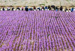 تولید ۹۶ درصد زعفران دنیا در ایران