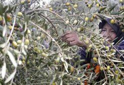 کاهش ۱۵ درصدی قیمت در آغاز فصل برداشت زیتون