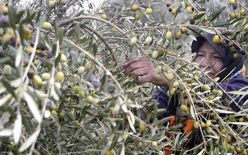 تولید با کیفیتترین زیتون کشور در سیستان