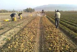 خطر قحطی سیبزمینی در سال آینده
