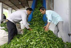 خریداری 90 هزار تن چای سبز در چین پایانی