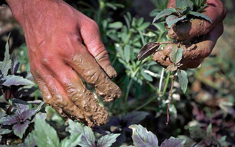 با وجود ممنوعیت از فاضلاب خام برای کشاورزی استفاده میشود