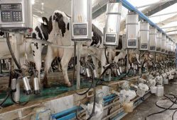 قیمت شیر پاستوریزه ۲ برابر شیر خام