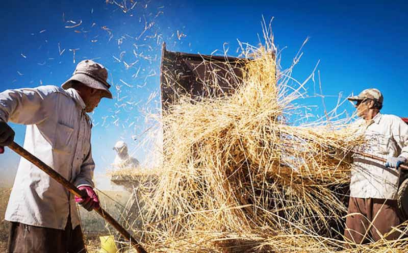 دردسر تازه کشاورزان با قیمت دولتی گندم / زنگ خطر برای بازار آرد