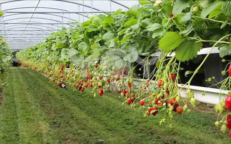 تولید سالیانه ۴۲۶ هزار تن محصولات گلخانهای در یزد