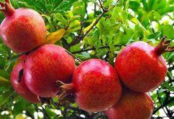 افزایش قیمت انار به دلیل سرمازدگی باغها