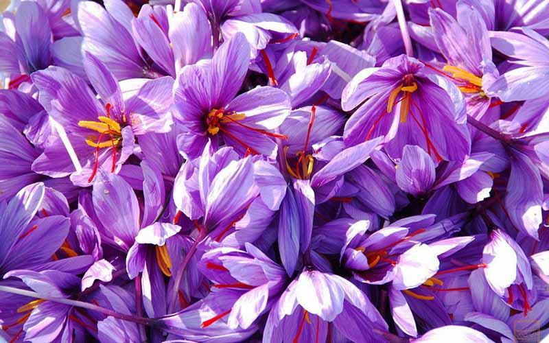 استفاده از رنگهای مضر در زعفرانهای تقلبی