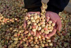 یزد سومین تولیدکننده پسته در ایران